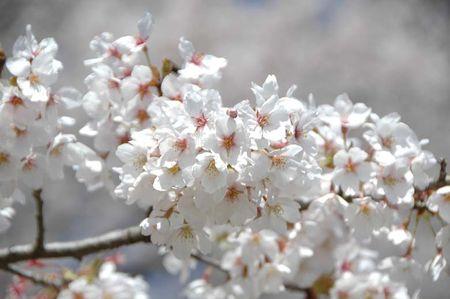 赤城の桜は今満開